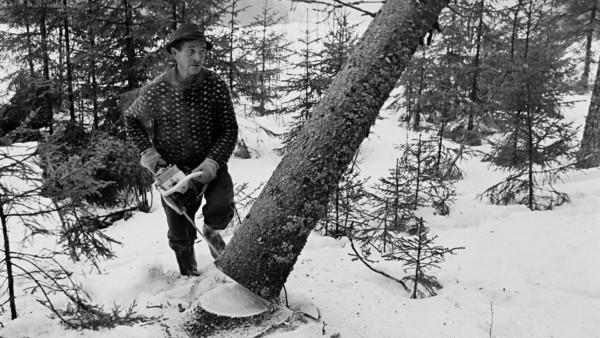 Vanha hattupäinen mies kaatamassa puuta moottorisahalla lumisessa metsässä, puu kaatumassa