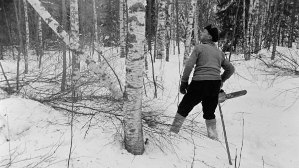 Lumisessa metsässä hattupäinen mies moottorisaha kädessä mittailemassa katseellaan koivun runkoa