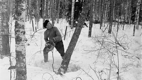 Lumisessa metsässä mies kaatamassa puuta moottorisahalla