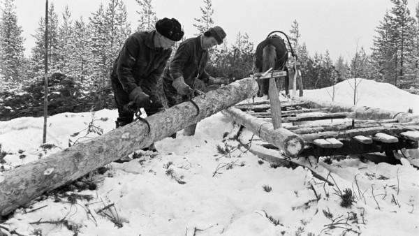 Kaksi miestä vierekkäin lumisessa metsässä nostamassa isoa puunrunkoa hevosen vetämään tyhjään puurekeen, taustalla metsää