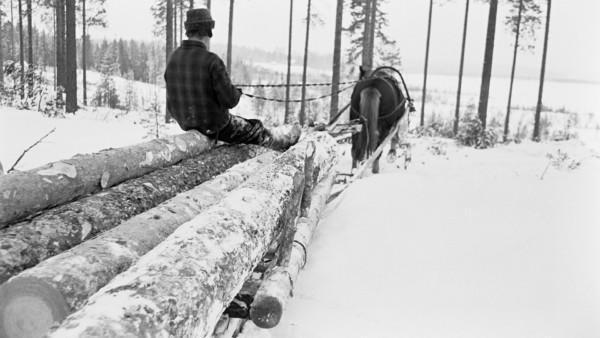 Lumisessa metsässä mies ajamassa hevosen vetämää rekeä, jossa puunrunkoja. Mies istuu runkojen päällä, taustalla peltoinen metsämaisema. Kuvattuna reen takaa.