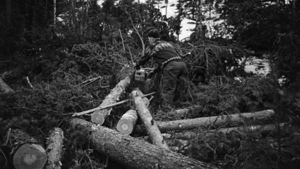 Mies sahaa kaatuneen puun oksia moottorisahalla, taustalla paljon kaadettuja puita