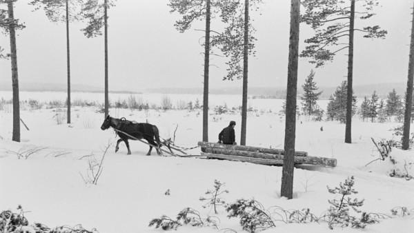 Lumisessa metsässä mies ajamassa hevosen vetämää rekeä, jossa puunrunkoja. Mies istuu runkojen päällä, taustalla peltoinen metsämaisema. Kuvattuna sivulta.