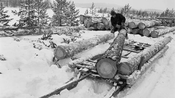Lumisessa metsämaisemassa mies siirtämässä puunrunkoja reen päällä, taustalla lisää runkoja ja peltoaukea