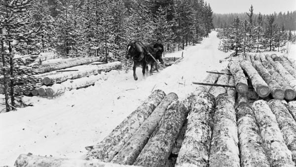 Lumisella metsätiellä mies ajamassa hevosen vetämää tyhjää puurekeä, ympärillä puunrunkoja pinoissa ja metsää