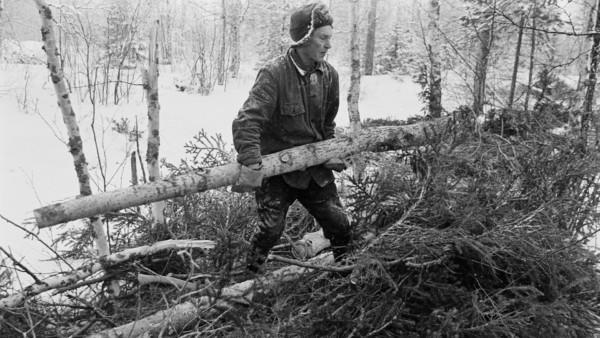 Lumisessa metsässä vanha mies siirtämässä oksatonta puun runkoa, miehen jaloissa männyn oksia