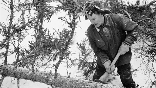 Lumisessa metsässä vanha mies talvivaatteissa irrottamassa männyn oksia rungosta kirveellä