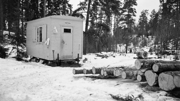 Kuvassa puuparakki lumisessa metsässä, edustalla männyn runkoja