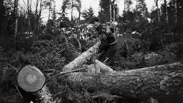 Mies nostaa puunrunkoa, taustalla paljon kaadettuja puita