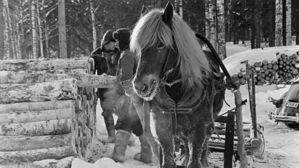 Kaksi miestä talvivaatteissa talvisessa metsässä runkopinon luona, etualalla hevonen ja reki, taustalla lisää runkopinoja ja metsää