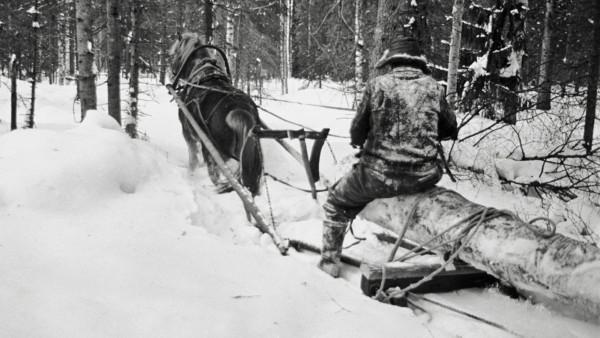 Lumisessa metsässä mies ajamassa hevosen vetämää rekeä, kyydissä suuri luminen puun runko