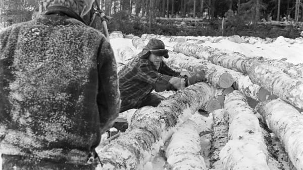 Kaksi talvivaatteista miestä siirtämässä koivun runkoa lumisessa metsässä