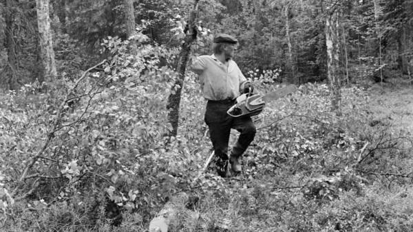 Mies kaadetun puun vieressä moottorisaha kädessä, taustalla metsää