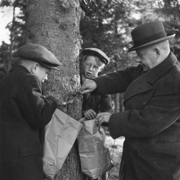 Kaksi poikaa ja vanhempi mies raaputtavat kuusesta kuorta kahteen paperipussiin.