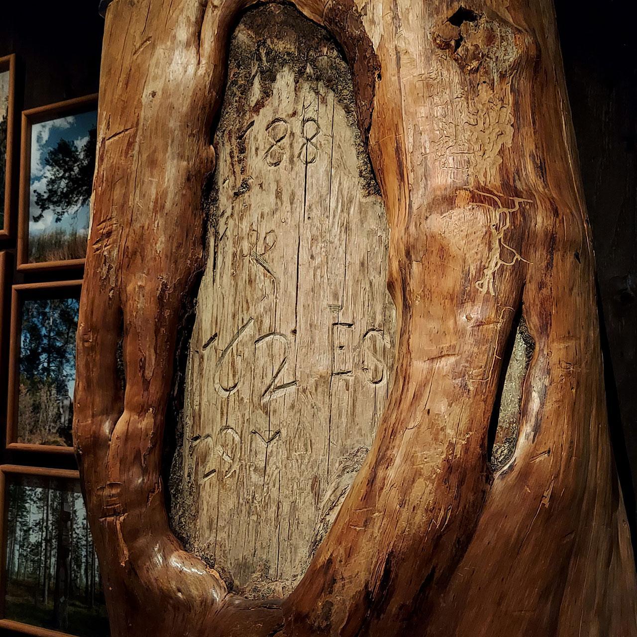 Kuorittu iso männyn runko, jonka haavassa veistetty vuosilukuja ja nimikirjaimia.