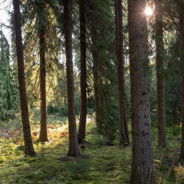 Aurinko paistaa puiden lomasta vanhassa havumetsässä.